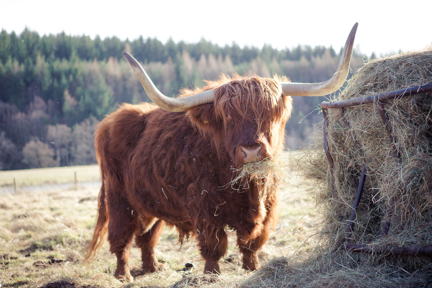 scottish hotel with highland cow